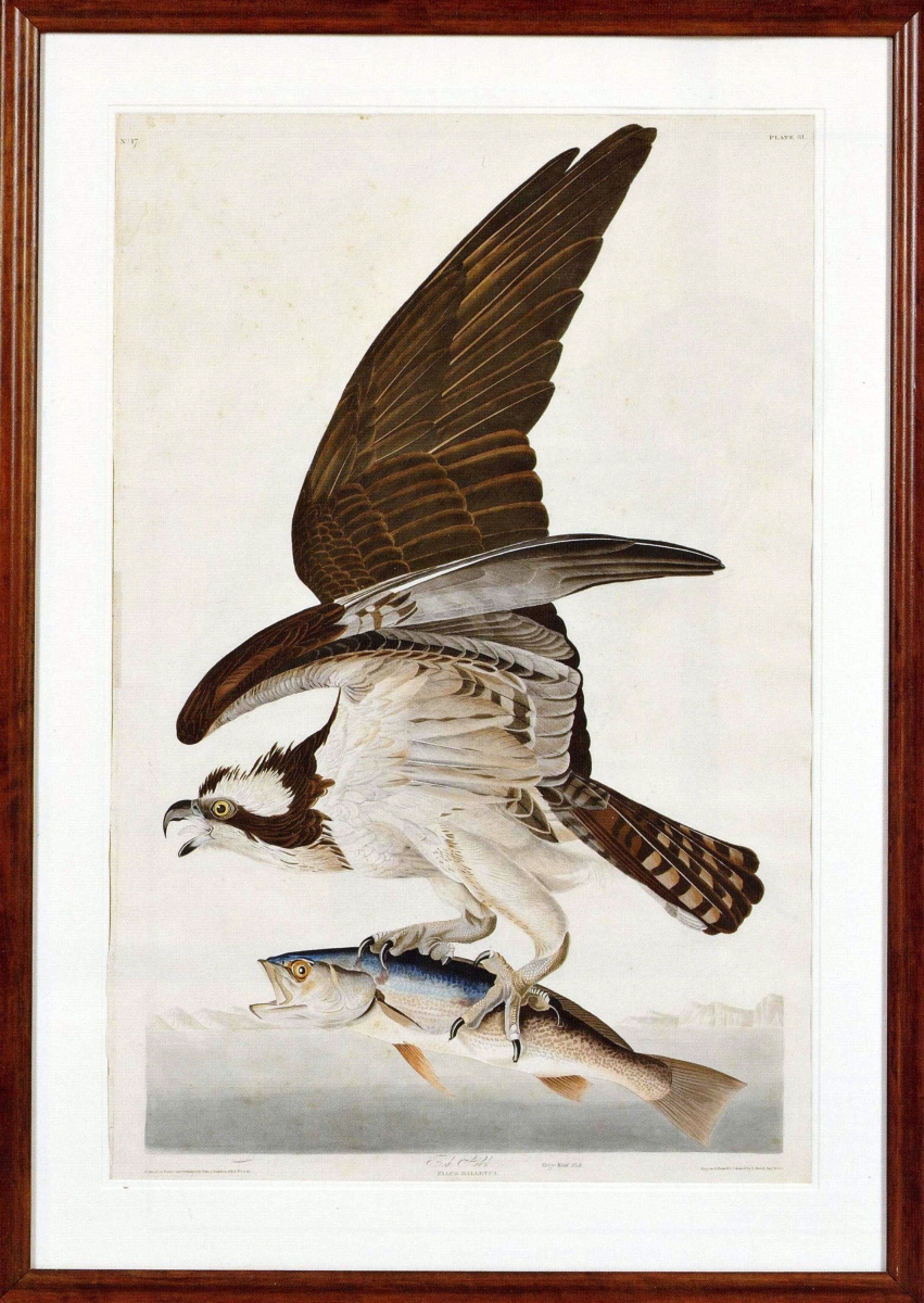 """Several elephant folio first edition Audubon prints were sold. """"The Fish Hawk"""" was a hand-colored engraving, plate 81, from the Birds of America and it was the highest priced of the group, finishing at $43,050.              —Skinner"""