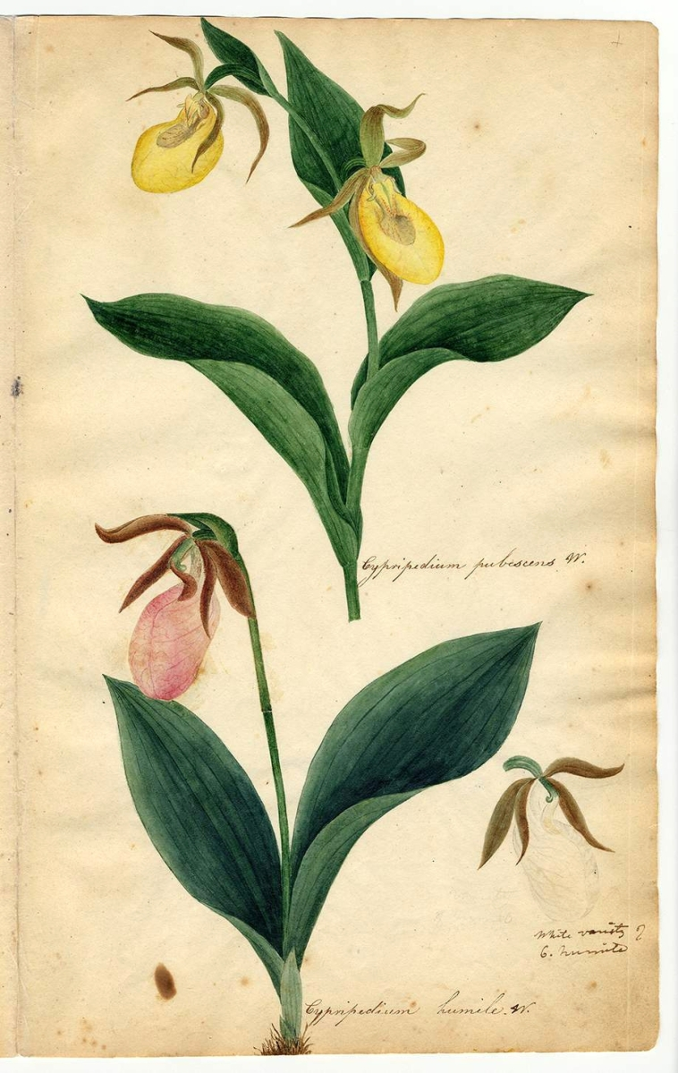 """Cypripedium pubenscens W. (Greater yellow lady's slipper),"" Herbarium parvum, pictum by Orra White Hitchcock (1796–1863); vicinity of Deerfield, Amherst and Conway, Mass., 1817–21, watercolor, pencil and pen and ink on paper, from unbound album, approximately 12-  by 7-  inches each. Deerfield Academy Archives."