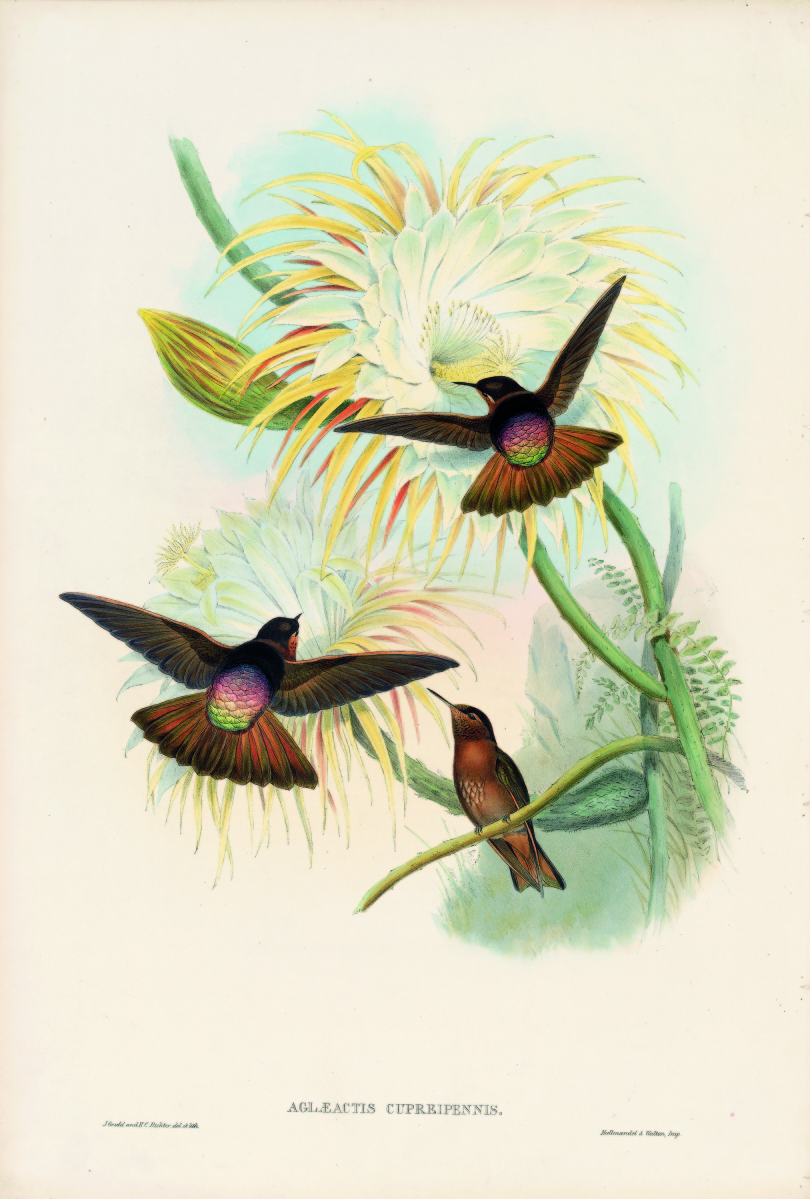"""Shining Sunbeam"" by John Gould, Family of Humming-Birds, plate 179, 1849–1861. Hand colored lithograph with gold leaf, 21½ by 14¾ inches."