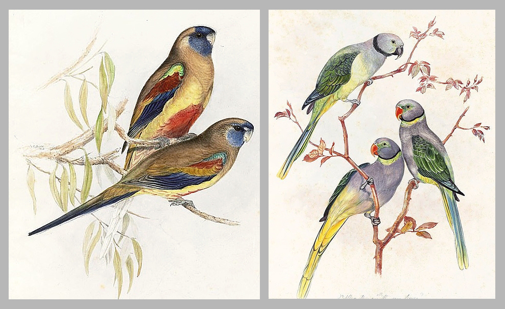 Two watercolor paintings of birds by artist John Gould.